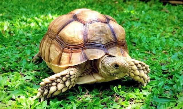 Rùa Châu Phi - Sulcata Tortoise