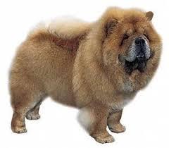 Anjing Ras Chow Chow