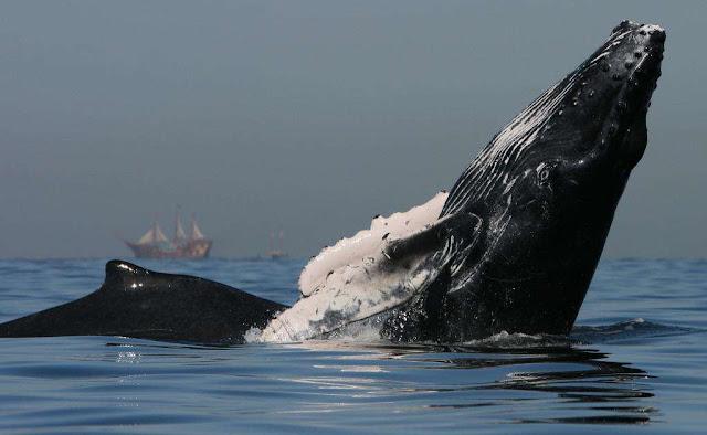 Dónde y cuándo ver ballenas jorobadas en México