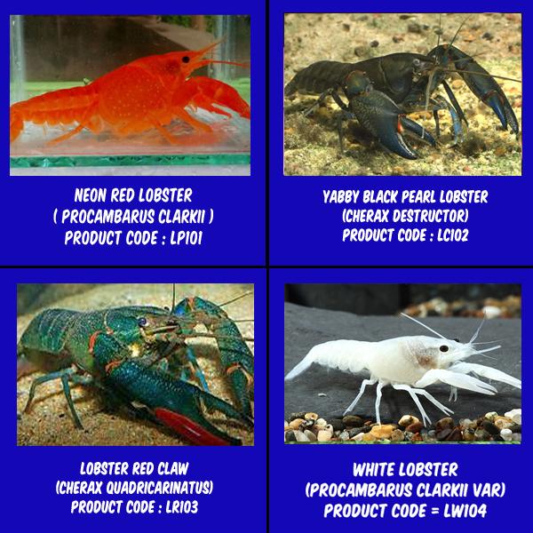 Jual Lobster Hias Akuarium Alam Ikan