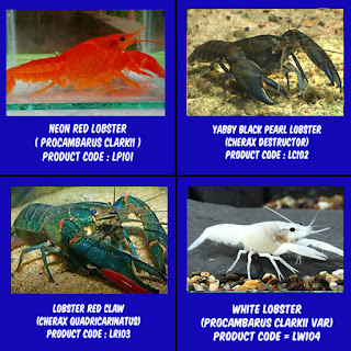 red neon, red claw, white lobster, yabby lobster
