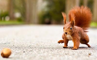 Eichhörnchen rennt zu einer Walnuss - Eichhörnchen Foto