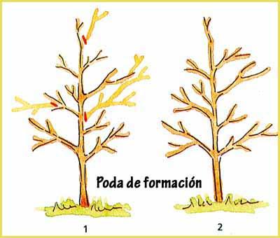 Resultado de imagen para poda de formacion for Cuales son los tipos de arboles