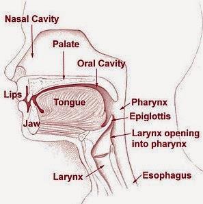Skema melintang mulut, hidung, faring, dan laring