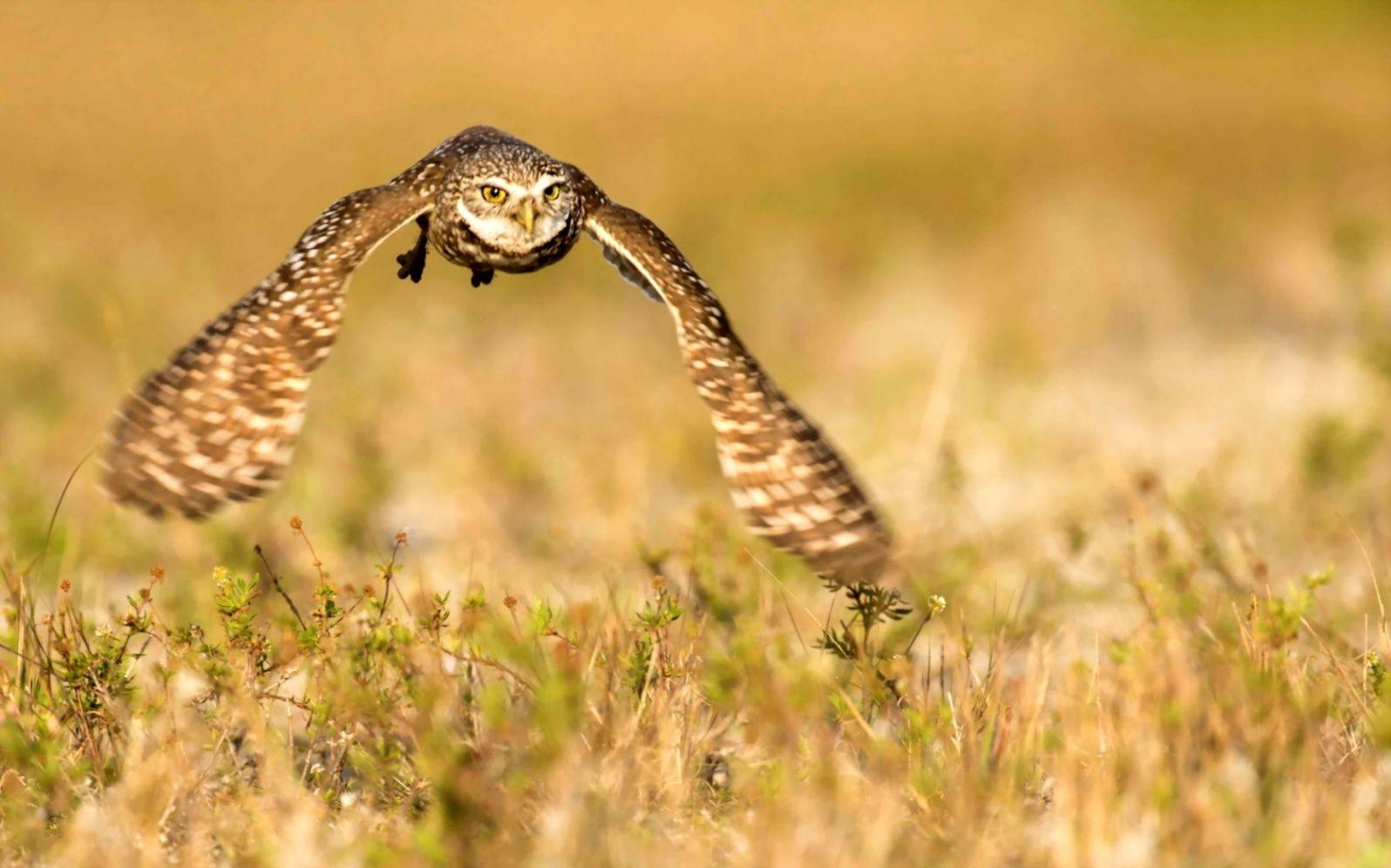 Bird Owl Flying Nature 7010885