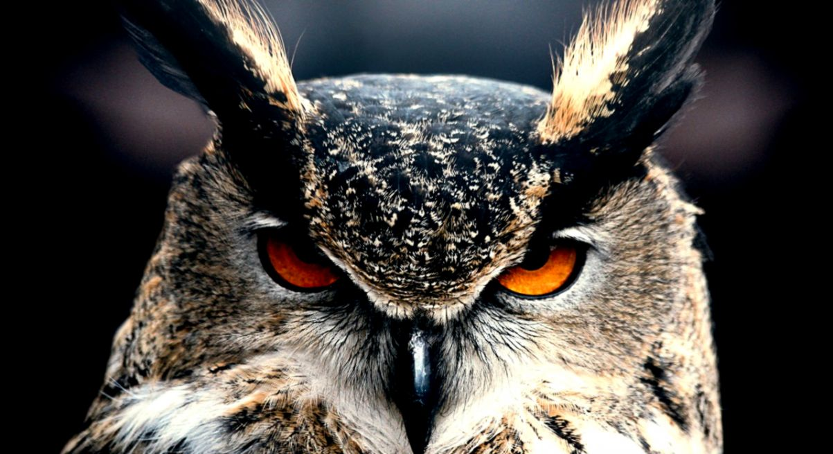 Wallpaper Owl 4k HD wallpaper Eyes wild nature gray OS 595