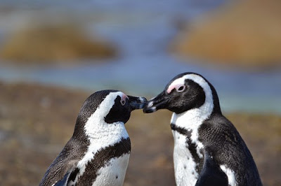Living up to 20 years African penguins are flightless marine birds coming in a variety of sizes and colors.
