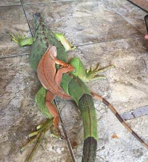 Video Adegan Iguana Kecil Kawin dengan Iguana Betina Besar 1 Meter Up