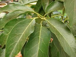 Banyak jenis tumbuhan disekitar lingkungan kita yang bisa difaedahkan sebagai bahan  Obat herbal penghancur batu ginjal dari daun alpukat