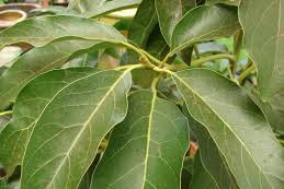 Obat herbal penghancur batu ginjal dari daun alpukat