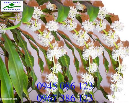Cây thiết mộc lan ghép ra hoa đẹp