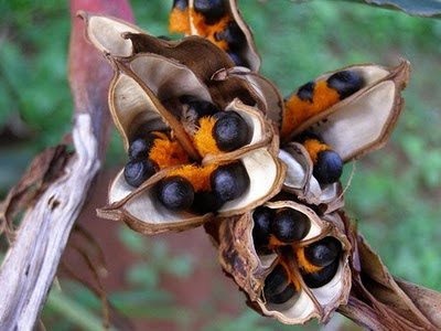How to grow bird of paradise plants from seed