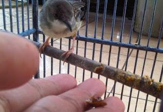 Burung Ciblek - Cara Menjinakkan Burung Ciblek Agar Lulut - Penangkaran Burung Ciblek