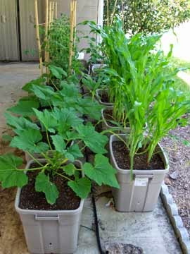 Container garden pots with tomatoes, squash, corn, and beans