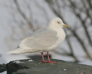 glaucoides Iceland Gull, St.John's