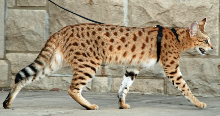 Savannah cats facts