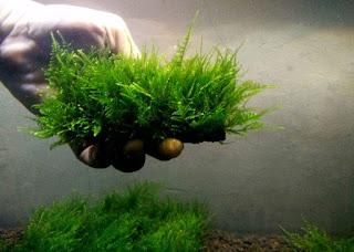 Jenis Moss untuk Aquascape Taiwan Moss