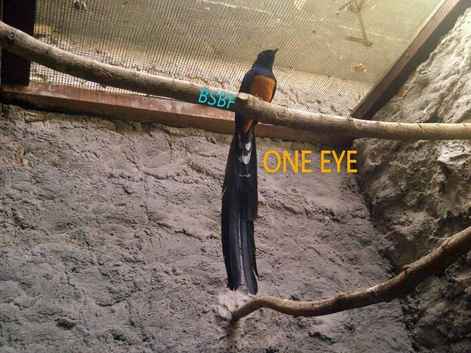 Kumpulan Burung Murai Batu Ekor Puanjangggg Kaskus