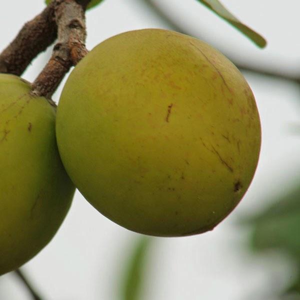 Benefícios do leite de mangaba