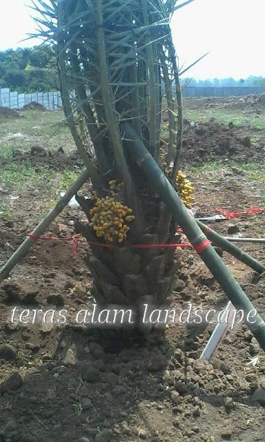 tukang pohon kurma