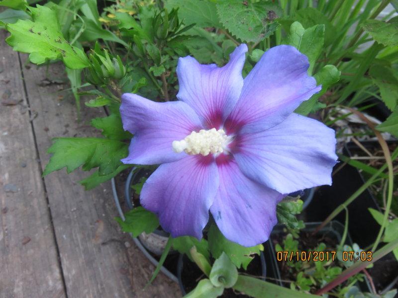 My Virtual Maryland Garden Hibiscus Syriacus Azurri Blue And