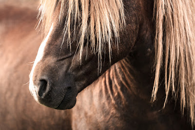 Icelandic horses are a special breed that descend back to Viking times