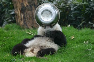 oso panda jugando con plato