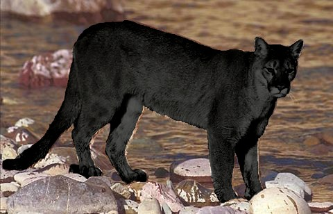 Image Gallery mountain lion black