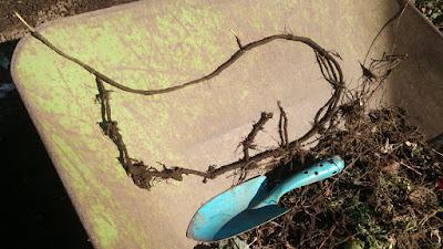 掘り上げたスギナの根