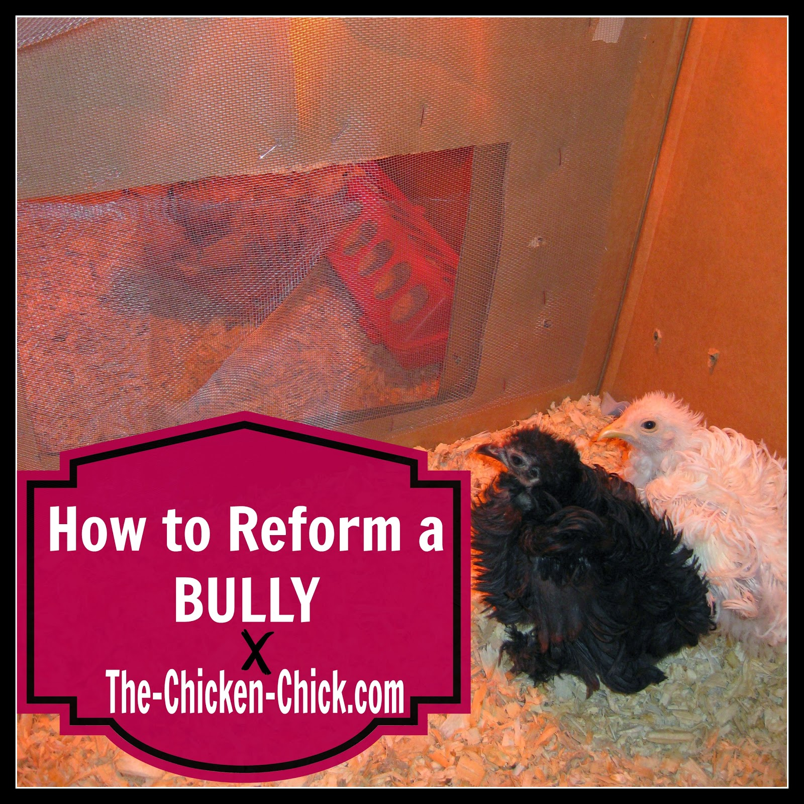How to Reform a Brooder Bully- when good chicks go bad.