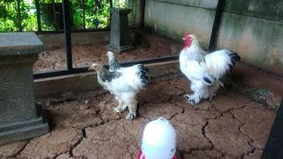 Ayam Hias Brahma