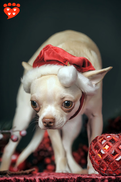 Body language quiz: How can I tell if my dog is afraid? Look at this Chihuahua in a Santa hat