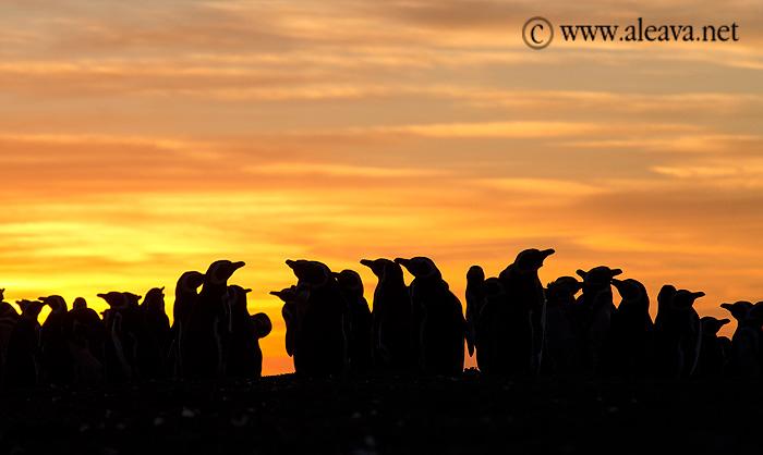 Pingüinos contemplando el atardecer en Península Valdés