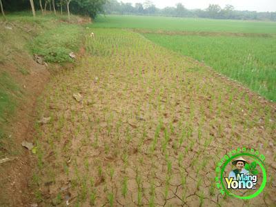 FOTO 2 : Tanam Padi TRISAKTI di Darat / Ladang atau Lahan Gogorancah