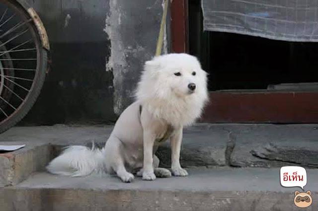 Khi nào thì nên cạo lông cho chó?