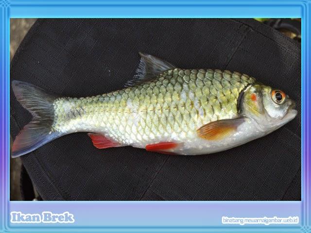 gambar ikan brek