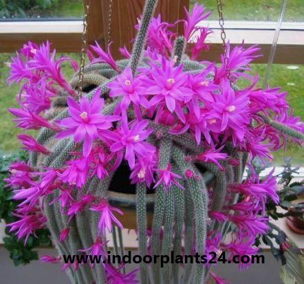 Aporocactus Flagelliformis Cactaceae indoor house plant image