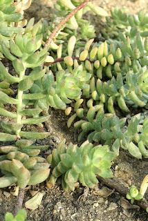 Sedum nussbaumerianum - Sedum adolphii
