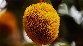 gambar buah aini
