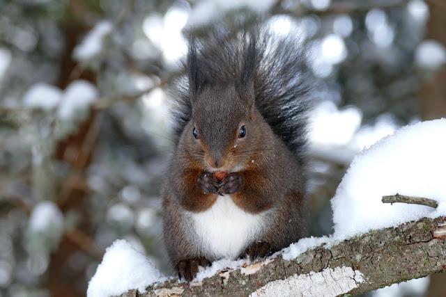 Eichhörrnchen, frisst, Nüsschen, Haselnuss, Eichhörnliweg, Winter, Arosa, Eichhörnchenweg