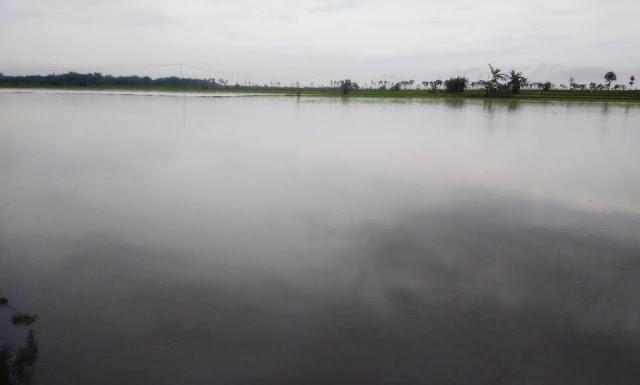 Hujan Lebat Di Sejumlah Daerah, Petani Gagal  Panen