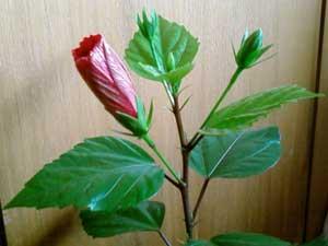 Китайська троянда зацвіла