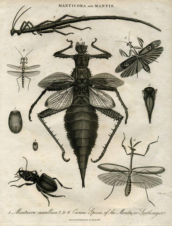 Manticora e Mantis