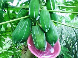 Getah Pepaya