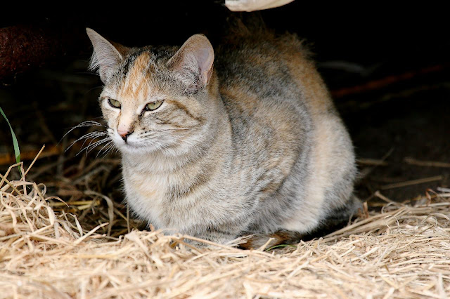 feral cat torbie or dilute tortie