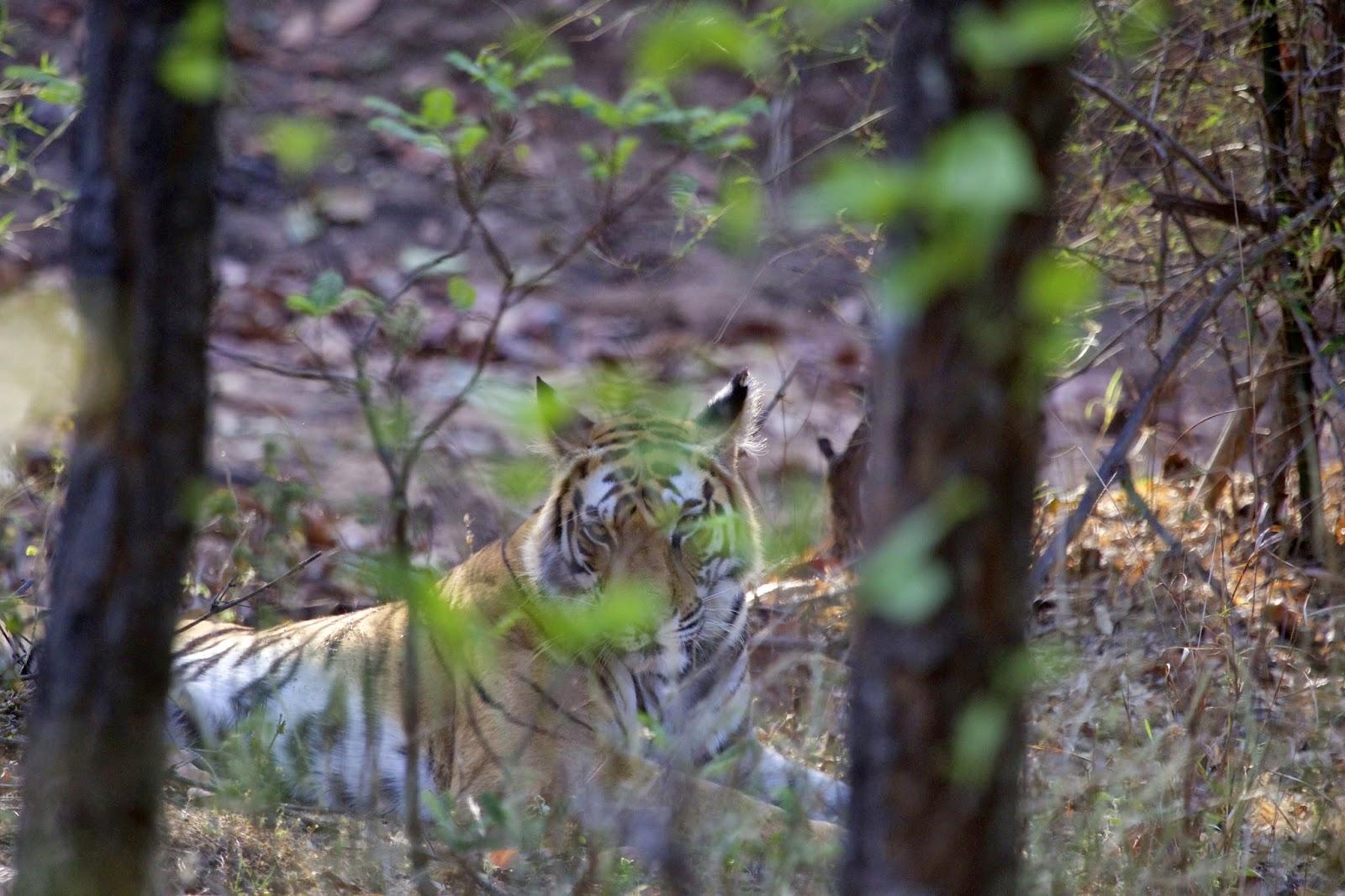 bamboe plaat tijger
