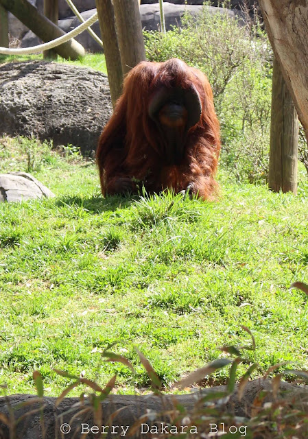 berry dakara, atlanta, zoo, zoo atlanta, travel atlanta, discover georgia, atlanta tourist, orangutan