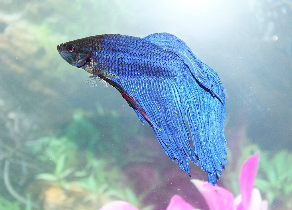 betta fish diseases betta fish care