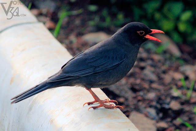 Indian Blackbird Male