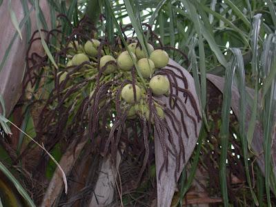 Mbocay Acocomia aculeata